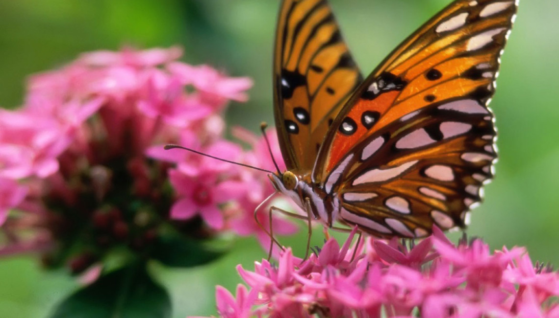 butterfly-pink-flower-butterflies-animals_289332
